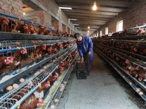 Робота на фермі в Латвії