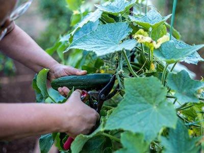 Работа на полях (посадка и сбор урожая) в Чехии