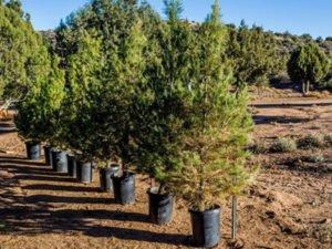 Работа по выкапыванию и пресадки елок