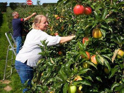 Работа: сбор яблок и груш в Познань (Польша)