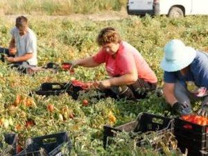 Робота на полі збір і сортування помідор