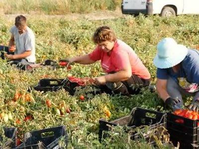 Работа: сбор урожая помидоров в Жатец (Чехия)