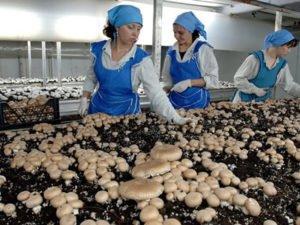 Работа в теплице сбор грибов шампиньонов