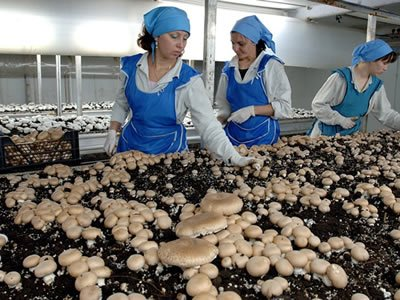 Вакансія для працівника на збір грибів печериць в Чехії