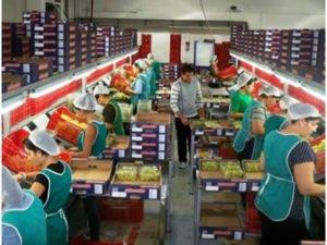 Работа для сезонного рабочего на производстве овощей