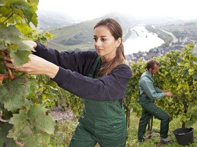 Вакансія для студентів на виноробні в Німеччині