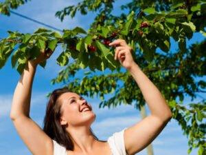 Работа для студентов по сбору вишни, черешни