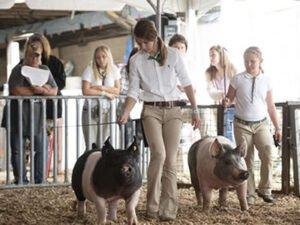 Робота для студентів на свинарській фермі