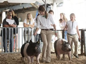 Работа для студентов на свиноводческой ферме
