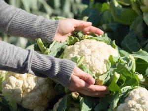 Практика для студентів зі збору врожаю капусти