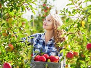 Работа для студентов по сбору урожая