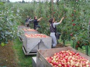 Работа по сбору яблок с дерева и с земли