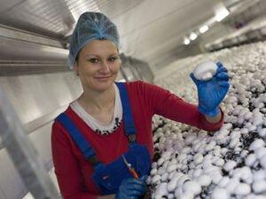 Робота для студентів на збір грибів (шампіньйони)