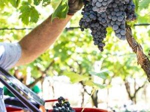 Работа на винограднике по сбору урожая винограда