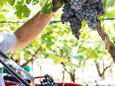 Вакансія для працівника на збір винограду в Німеччині