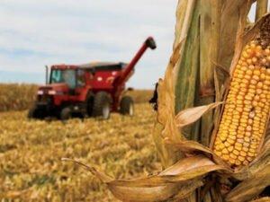 Работа по уборке кукурузы на полях