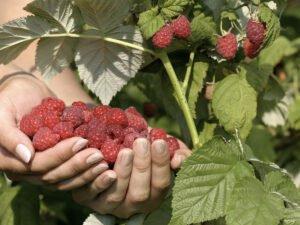 Работа для студентов на плантациях по сбору урожая