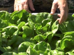 Работа в сельском хозяйстве, сбор, упаковка рукколы и спаржи
